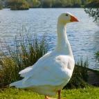 אווז בטבע