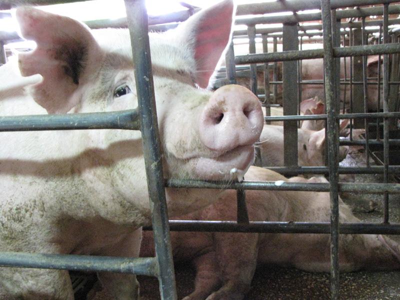 חזירות בכלובי הריון