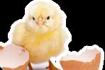 5 סיבות לא לאכול ביצים