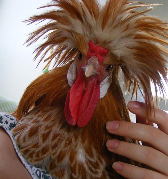 משי התרנגול בא מיד כשקוראים בשמו.